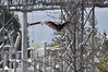 Walt Hester | Trail Gazette<br /> A turkey vulture stretches and warms its wings near the power plant on Lake Estes on Monday.