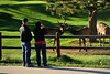 Walt Hester | Trail Gazette<br /> Visitors photograph a pair of nuzzling yearling bulls at the Lake Estes 9-hole golf course on Tuesday.
