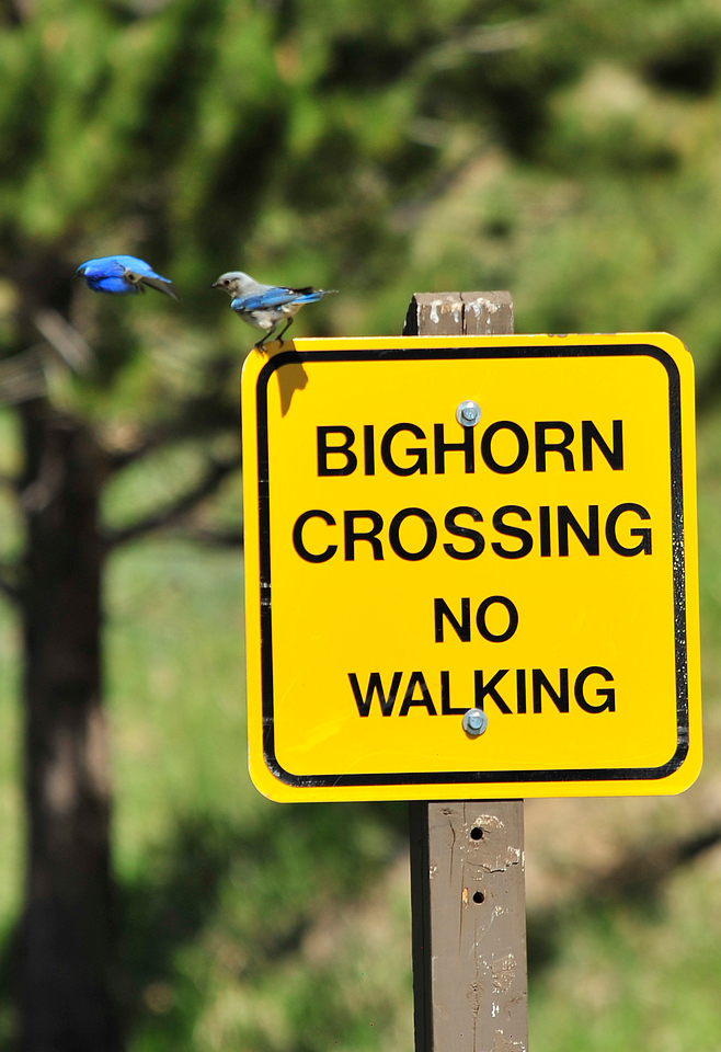 Walt Hester | Trail Gazette<br /> A pair of bluebirds perch and dive off of a sign at the Sheep Lakes on Wednesday. The colorful birds are favorites in the Mountain West.