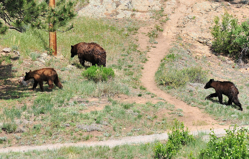 Walt Hester | Trail Gazette<br /> A sow and two cubs thrill visitors as they wonder through the Knoll-Willows area behind the Town Hall on Saturday. While seeing bears around town, even downtown, is not unusual, in the middle of the day with so many people abot is unusual.