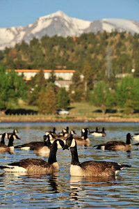 Walt Hester | Trail Gazette Canada geese float across Lake Estes on Wednesday. The geese stay around Estes Park year round.