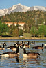 Walt Hester | Trail Gazette<br /> Canada geese float across Lake Estes on Wednesday. The geese stay around Estes Park year round.
