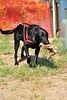 "Walt Hester | Trail Gazette<br /> A black lab named Jake carries his stuffed bunny out for a walk on Wednesday. ""It's better than carrying a real bunny,"" pointed out owner Leanne Poeschl of Littleton."