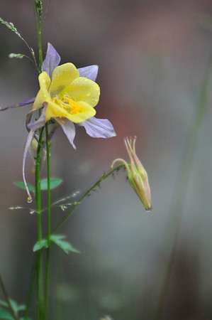 Walt Hester   Trail Gazette<br /> A columbine awaits more moisture on Wednesday. Between high snowpack and the return of the monsoon, wildflowers are bursting out all over the area.