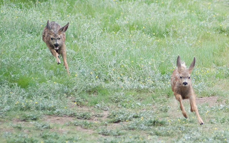 Walt Hester | Trail Gazette<br /> A pair of fawns chase each other around a yard in Carriage Hills on Tuesday. Like human children, the youngsters need to burn off some energy.