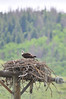 Walt Hester | Trail Gazette<br /> A raptor gazes out from its nest atop an old power pole south of Grand Lake on Sunday.