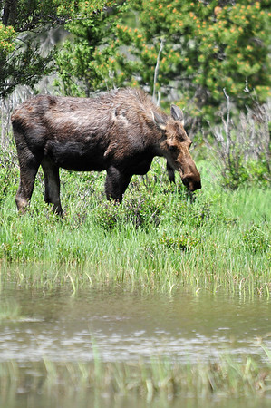 Walt Hester | Trail Gazette<br /> A cow moose nibbles her way up the swollen Colorado River bank in the Kawuneche Valley on Sunday. While moose are making appearences on the east side on Rocky Mountain National Park, they are much more common on the west side of the Contenental Divide.