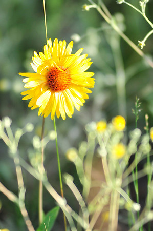 Walt Hester | Trail Gazette<br /> A brown-eyed Susan faces the evening sun on Wednesday. Abundant late-spring snow and recent warm temperatures have caused an explosion of wildflowers around the Estes Park area.