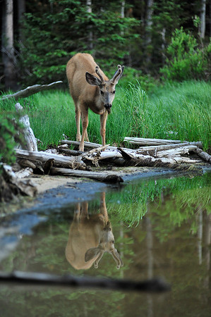 Walt Hester | Trail Gazette<br /> A young buck nibbles moss from the shore of Bierstadt Lake on Thursday.
