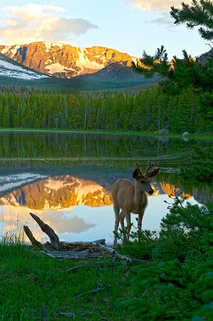 Walt Hester | Trail Gazette<br /> A young buck wanders the shore of Bierstadt Lake on Thursday Morning. With heat predicted for the Front Range and Plains, such solitude may be rare this weekend in the national park.