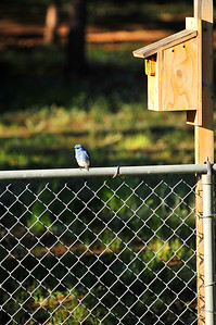 Walt Hester | Trail Gazette A bluebird sits near a bird house in Carriage Hills on Friday. Male bluebirds tend to be brighter than the females.
