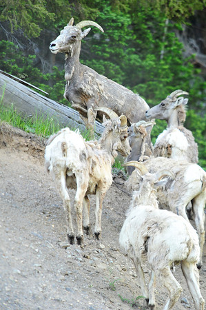 Walt Hester | Trail Gazette<br /> A small herd of bighorn sheep scamper up a steep embankment above Trail Ridge Road on Monday. The sheep are finally shedding their winter coats and look a little rough.