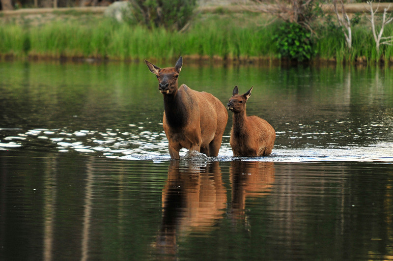Walt Hester | Trail Gazette<br /> A cow elk leads her calf through the shallow water of Sprague Lake on Wednesday. The lake is a favorite among fisherman as they can walk out on the lake, like the elk.