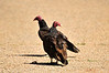 Walt Hester | Trail Gazette<br /> Vultures hover over rodent remains along Carriage Drive on Thursday. Vultures a scavengers and only eat carrion.