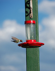 A male broad tail hummingbird hovers above a backyard feeder.