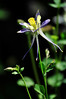 Walt Hester | Trail Gazette<br /> A columbine stretches toward the sun near Riverside Plaza on Wednesday. While one can perchase the flowers or grow them from seed, it is illegal to remove the state flowers from public lands.