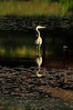 Walt Hester | Trail Gazette<br /> A blue heron soaks in the early morning light on the largest of the Scott Ponds on Wednesday. The migratory birds like to summer in Estes Park.