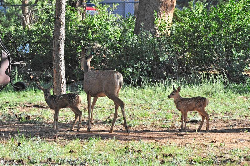 Walt Hester | Trail Gazette<br /> Three-week-old twin fawns wander through a yard in Carriage Hills on Tuesday.
