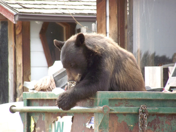 A black bear does some dumpster diving across Spur 66 near Ram's Horn. This is a dangerous activity for bears as they will be destroyed if they become nuisance animals. It is the responsibility of residents to make sure their dumpsters and other trash containers are properly secured so bears cannot gain access to them.