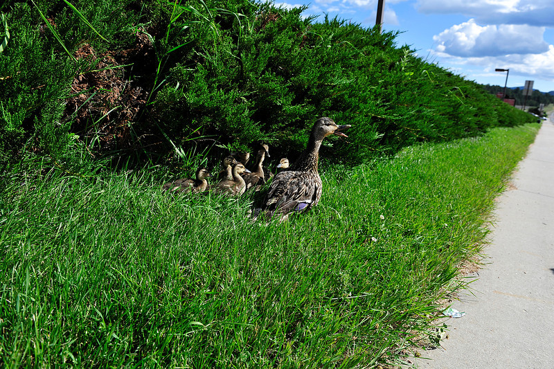 Walt Hester | Trail Gazette<br /> A duck and her ducklings huddle close to a hedge in Lower Stanley Village on Thursday after a dangerous crossing of Big Thompson Avenue. The family lost a duckling during the crossing.