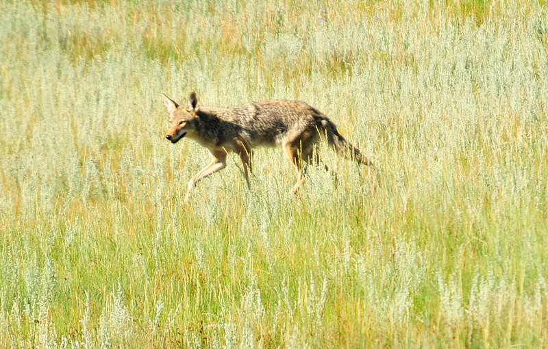 Walt Hester | Trail Gazette<br /> A coyote skulks through Horseshoe Park on Wednesday in search of breakfast. The predators will eat anything they can catch but tend to live on small rodents.