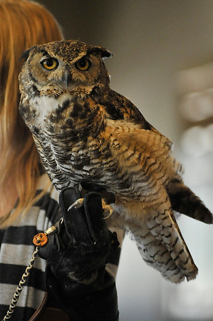 Walt Hester | Trail Gazette<br /> An injured owl peers out at the crowd gathered at the Estes Park History Museum on Saturday. The bird was part of tan educational presentation by the Birds of Prey Foundation, a raptor rescue organization based in Boulder.