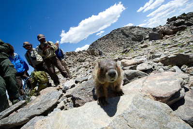 Walt Hester | Trail Gazette A marmot gains the attention of park volunteers on Twin Sisters on Monday. The famous high-altitude rodents have no fear of humans, to the dismay of park officials, and the delight of visitors.