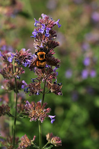 Walt Hester | Trail Gazette A large bee gathers pollon near the Vistor Center on Friday. A small swarm of pudgy bees descended on the flowers as visitors carefull walked by.