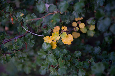 Walt Hester | Trail Gazette Leaves on a shrub along Bear Lake Road show the earliest signs of the coming autumn on Saturday. Most trees won't sport fall foliage for another four to six weeks.