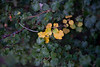 Walt Hester | Trail Gazette<br /> Leaves on a shrub along Bear Lake Road show the earliest signs of the coming autumn on Saturday. Most trees won't sport fall foliage for another four to six weeks.