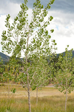 Walt Hester | Trail Gazette<br /> New cottenwood trees rustle in the breeze near Carriage Drive on Tuesday. The Estes Park Public Works department in planting the trees to enhance the wetland.