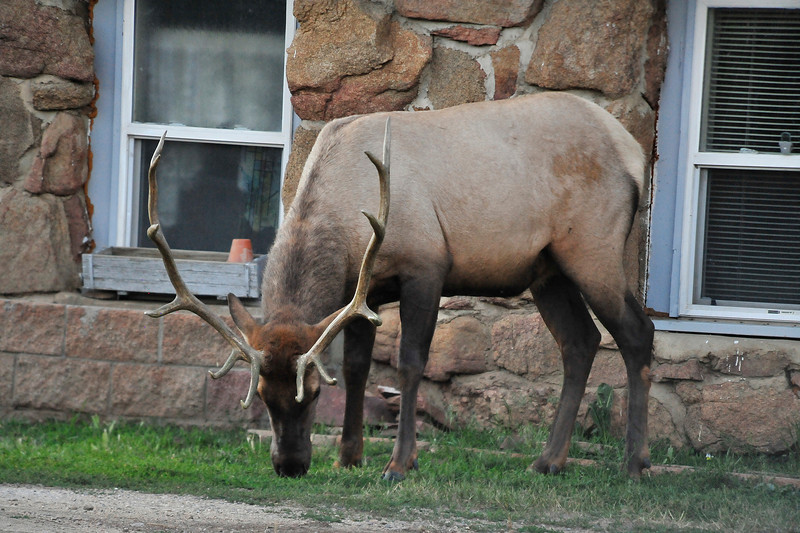 Walt Hester   Trail Gazette<br /> A bull elk nibbles grass along Mall Road on Wednesday evening. Bulls like this one are beginning to shed the velvet that has covered their new antlers, signaling the coming of the fall rut.