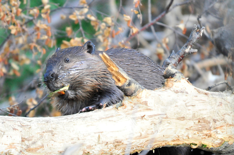 Walt Hester | Trail Gazette<br /> A beaver works on a dam along Fish Creek Road on Wednesday. The beavers tend to attract a crowd every evening as the large rodents go about their business.