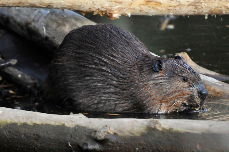 Walt Hester | Trail Gazette<br /> A beaver works on a dam along Fish Creek Road on Wednesday. The town board meeting concerning the creatures was moved from the site of the dams along Fish Creek to the town hall to accomodate the expected crowd.