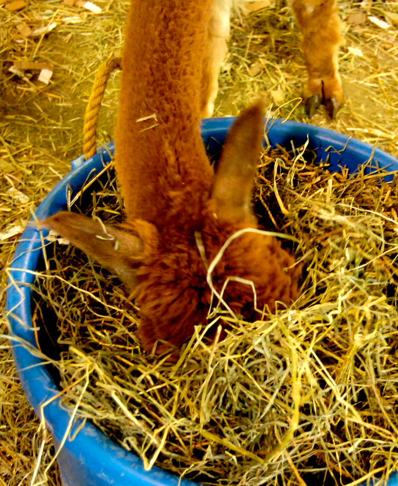 An alpaca immerses itself in the task-at-hand, lunch, during this past weekend's Alpaca Market held at the Fairgrounds at Stanley Park.