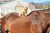 Walt Hester | Trail Gazette<br /> A small Yorkshire terrier seems to enjoy its perch atop a very large Clydesdale at the Stanley Fairgrounds on Saturday.