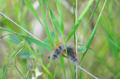 Walt Hester | Trail Gazette A caterpillar wriggles its way through tall grass near the Fall Rever entrance of the national park on Wednesday. The park's exclosures have fostered not only regrowth of plants, but also resurgence of diverse life.