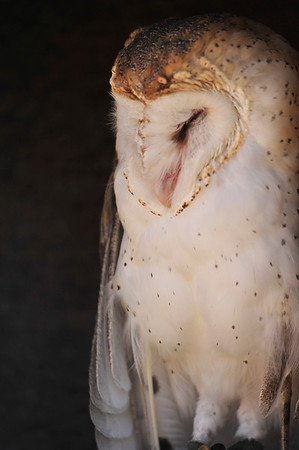 Walt Hester | Trail Gazette<br /> A barn owl snoozes on Saturday at the Longs Peak Scottish Irish Festival. The owl visited Estes Park as part of the Raptor Rescue program from Fort Collins.