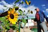Walt Hester | Trail Gazette<br /> Sunflowers greet the day as their caretaker waters them on Tuesday morning. The Tiny Town Miniature Golf's floral display is still hanging on with a variety of sunflowers and other autumnal blooms.