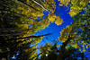 Walt Hester | Trail Gazette<br /> Golden aspen leaves contrast beautifully against the afternoon sky in a grove near Fish Creek Road on Wednesday. Autumn color is near peak around Estes Park.