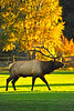 Walt Hester | Trail Gazette<br /> A seven-by-seven bull woorries the cows and delights observers at the Lake Estes 9-hole golf course on Tuesday. Several unusually large bulls have been spotted skulking about Estes Park this season.