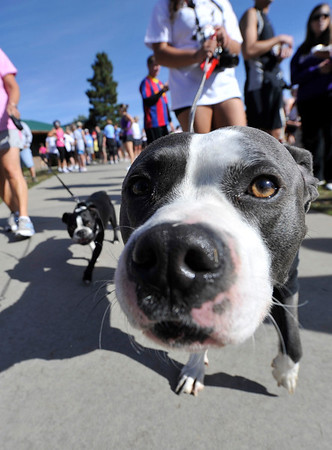 Walt Hester | Trail Gazette<br /> A dog named Elvis awaits the start of the Saturday race. The Running of the Bulls is a pet-friendly event.