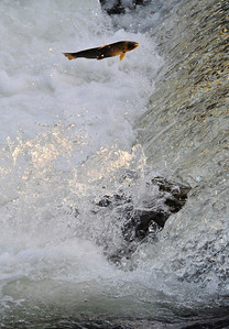 Walt Hester | Trail Gazette A trout makes its way up stream through the spillway on the Big Thompson River on Tuesday. The trout are heading to their spawning areas up stream.