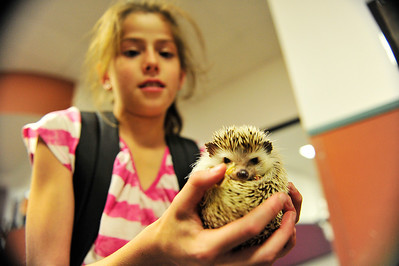 Walt Hester | Trail Gazette Miracle the hedgehog peeks out at children at the Estes Park Elementary School on Tuesday. The little guy was party of class pet day.