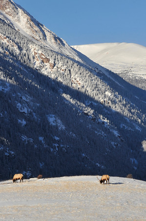 Walt Hester | Trail-Gazette<br /> New snow in Horseshoe Park is offset by clear sky and grazing elk on Monday. Warmer temperatures are expected by Thursday.