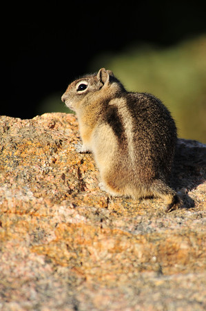 Walt Hester | Trail Gazette<br /> A golden-mantled ground squirrel sits in the morning sun and watches the Bear Lake parking lot fill up on Sunday morning. As the Bear Lake lot filled, the Glacier Gorge lot was already at capacity by 8:30 on Sunday morning.