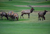 Walt Hester | Trail-Gazette<br /> A large bull elk herds his cows and their calves on the public 18-hole golf course on Tuesday. Estes Park is the only public course with specific golfing rules aimed to help golfers deal with the large, fuzzy hazards.