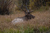 Walt Hester | Trail-Gazette<br /> A large bull rests in the beaver ponds area near Hidden Valley on Wednesday.