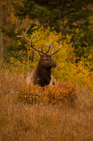 Walt Hester | Trail-Gazette<br /> A large bull relaxes among fall foliage in Hidden Valley on Wednesday. Bulls can be unpredictable or even aggressive during the rut.