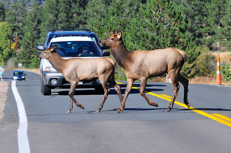 Walt Hester | Trail-Gazette<br /> A cow and young calf hold up traffic on Fish Creek Road on Thursday.